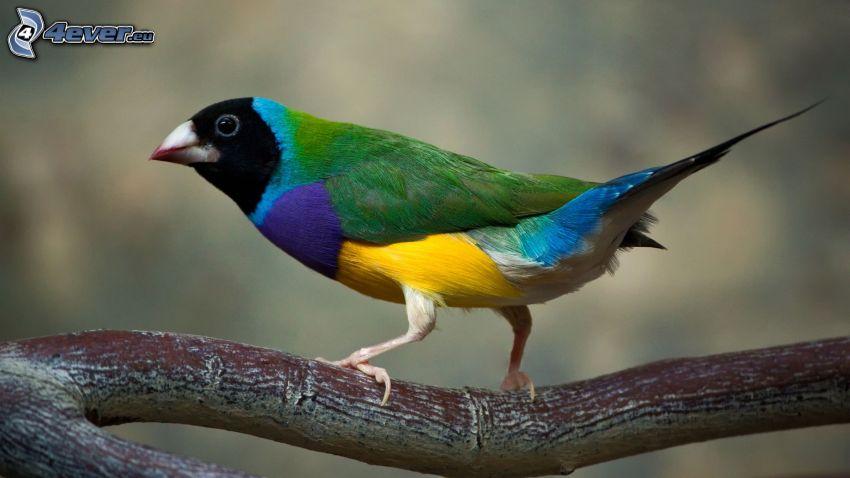 pájaro colorido, rama