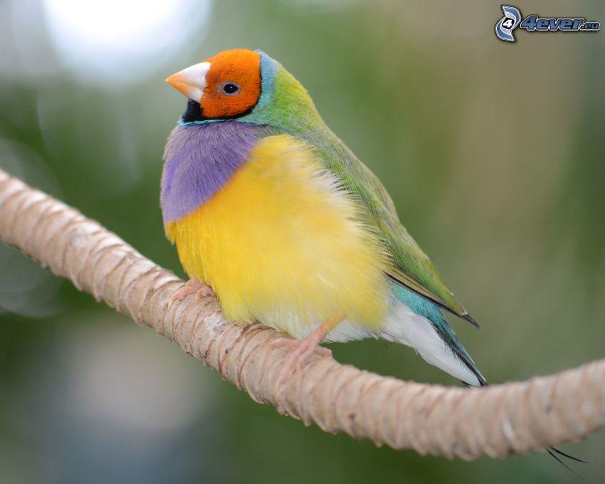 pájaro colorido, ramita