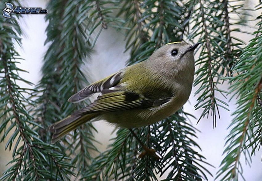 pájaro en una rama, conífera