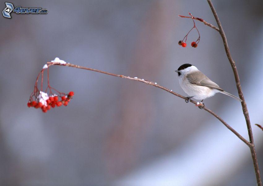 pájaro en una rama, frutas