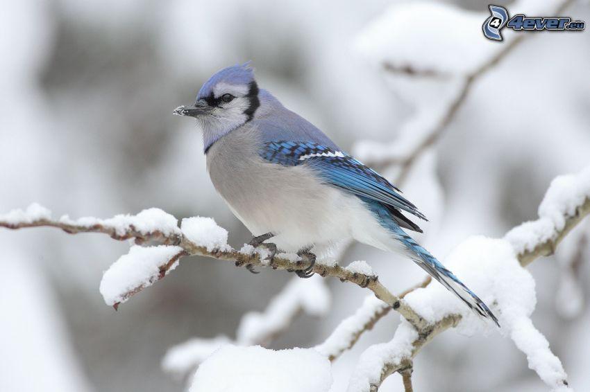 pájaro en una rama, ramas cubiertas de nieve