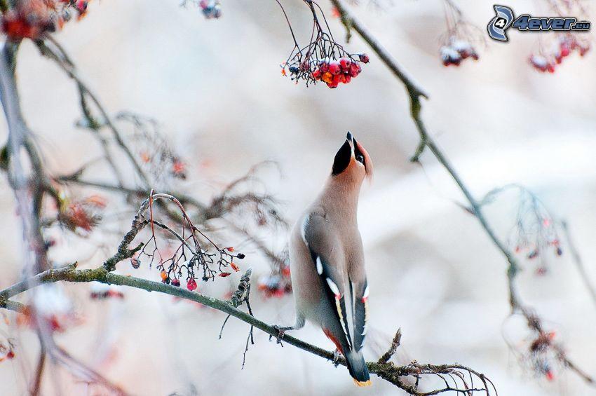 pájaro en una rama, Serbal