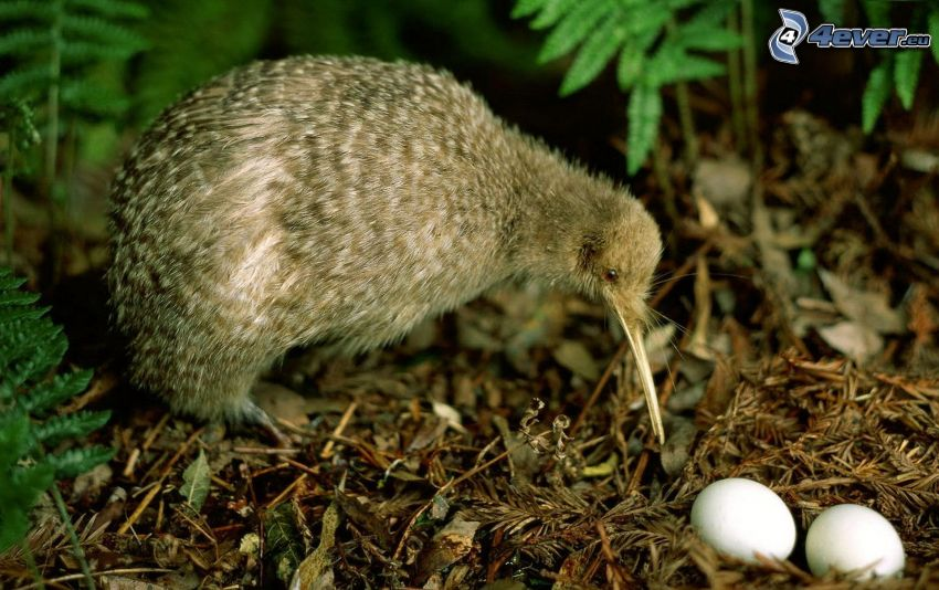 pájaro kiwi, huevos
