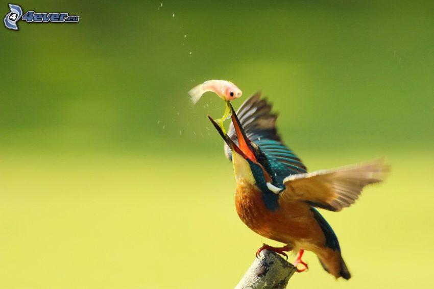 pájaro que pesca en agua, pez