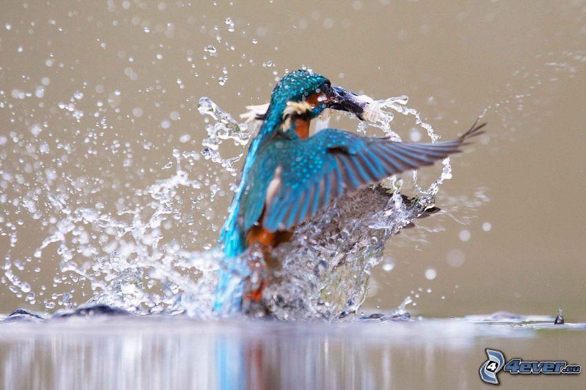 pájaro que pesca en agua, splash, pez