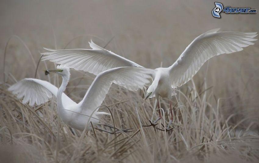 pájaros blancos, alas, hierba seca