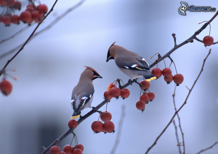 pájaros en una rama, frutas