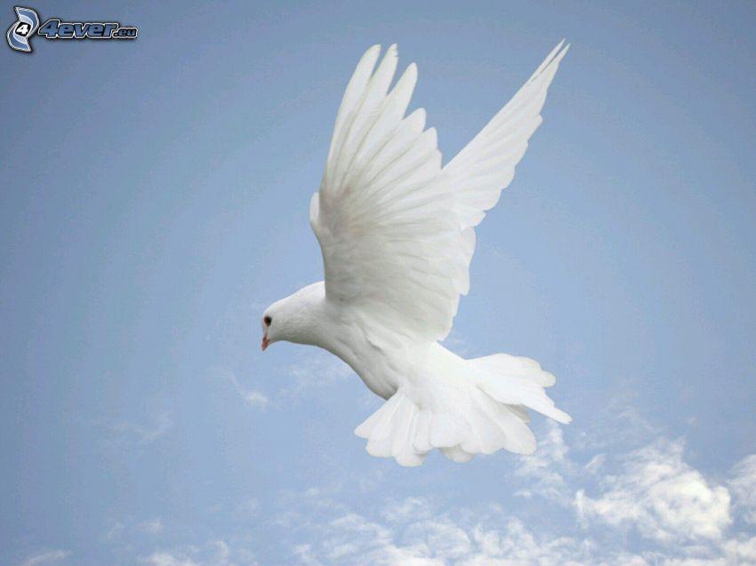 paloma, alas, vuelo, cielo azul