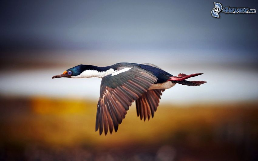 pato, vuelo