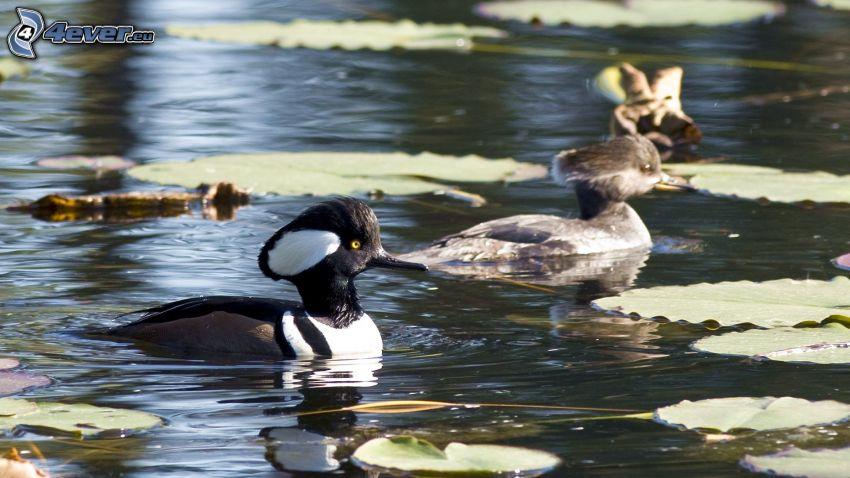 Pato en el lago, lirios de agua