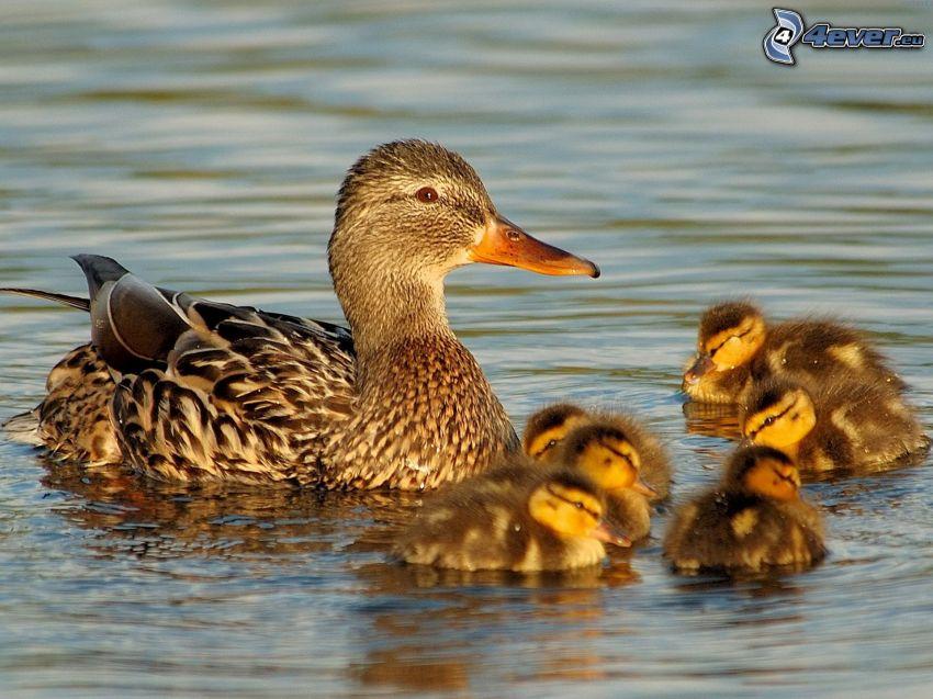 Pato en el lago, patitos