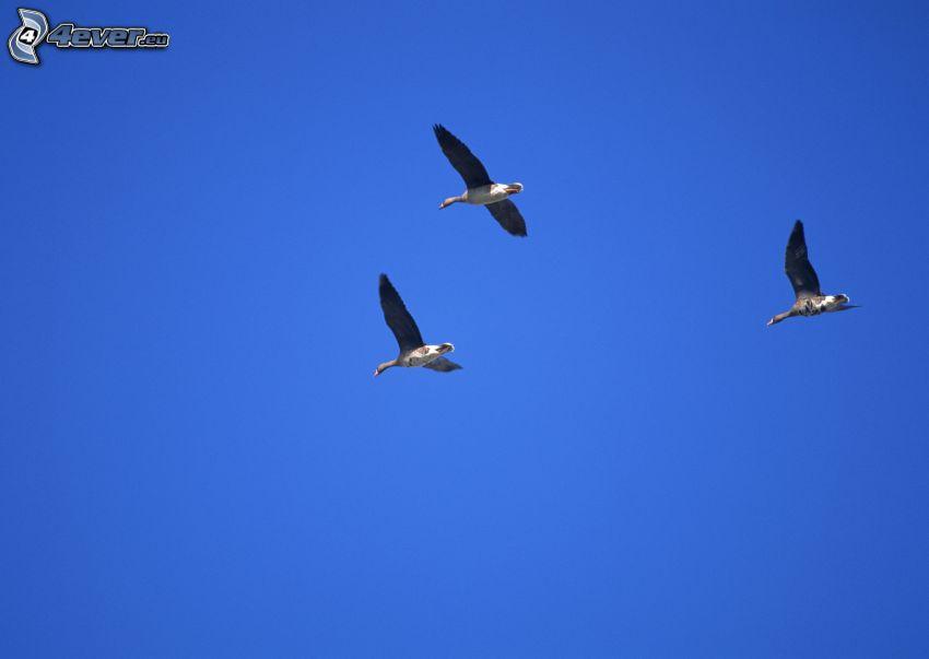 patos, cielo azul
