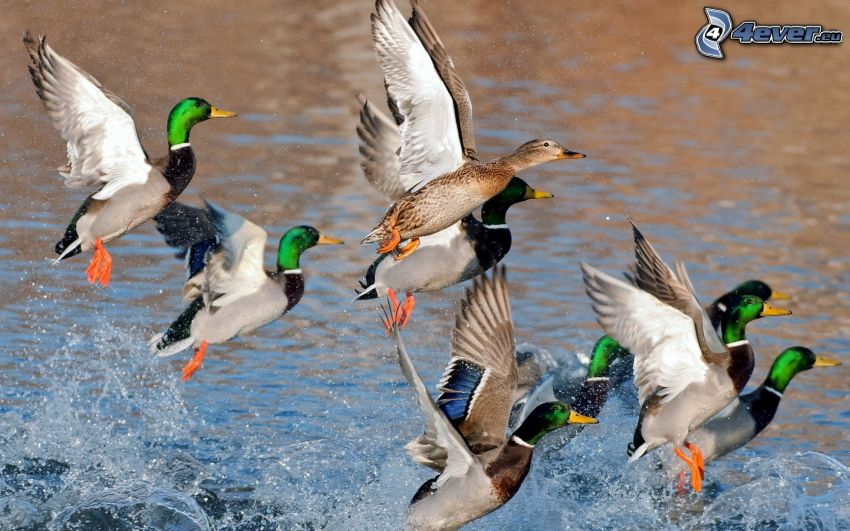 patos, vuelo, agua