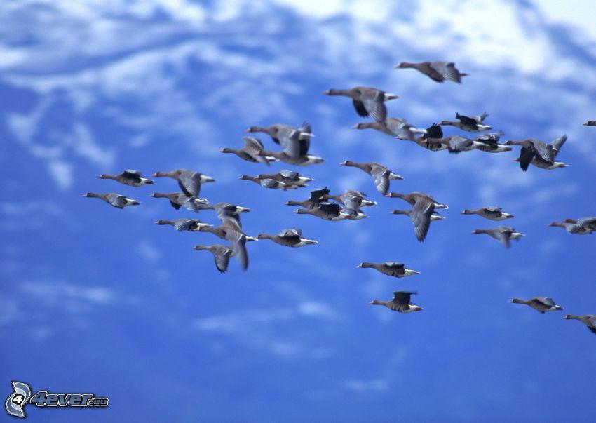 patos, vuelo
