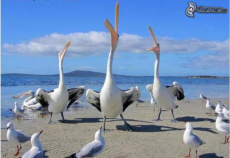 Pelícanos, mar