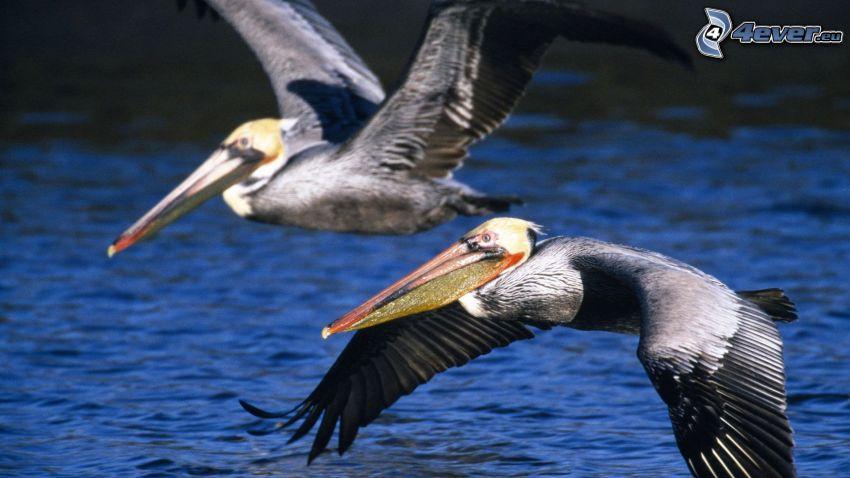 Pelícanos, vuelo