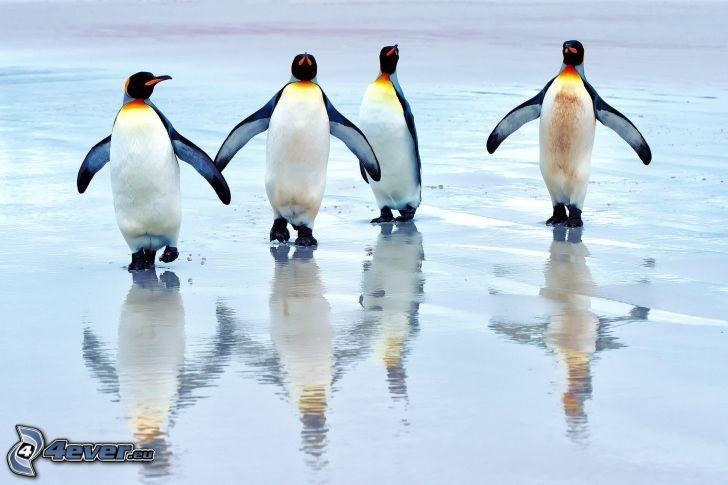 pingüinos, agua
