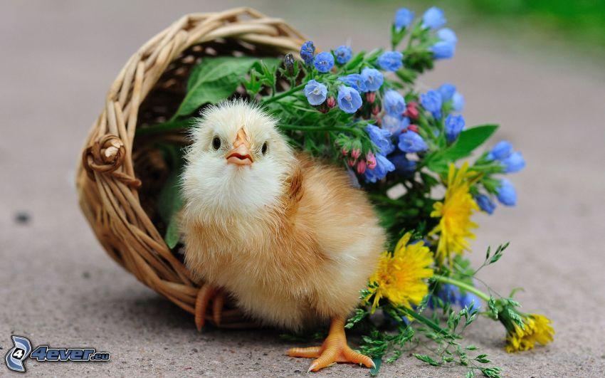 pollito, flores, cesta