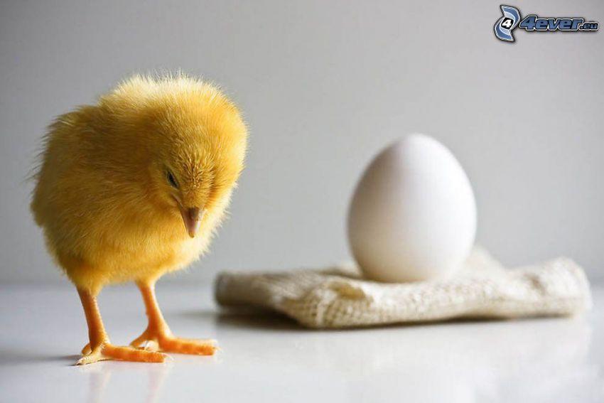 pollito, huevo, tristeza