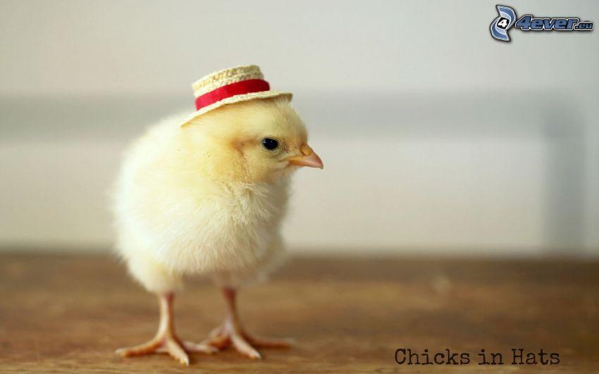 pollito, sombrero