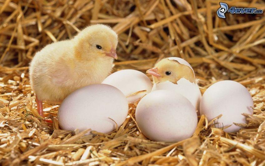 pollitos, huevos, concha, paja