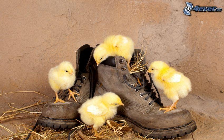pollitos, zapatos