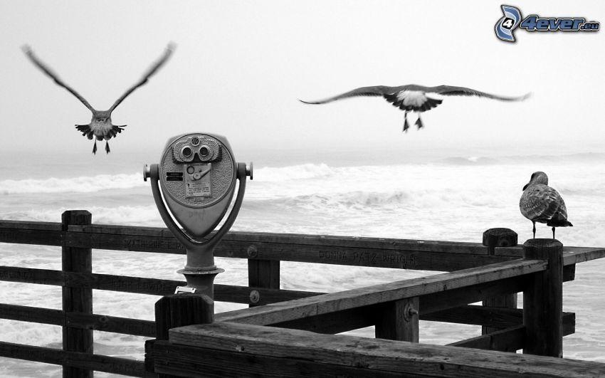prismáticos, gaviotas, vuelo, mar, blanco y negro