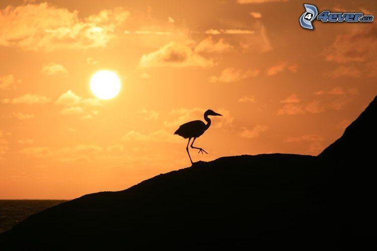 silueta del ave, puesta del sol