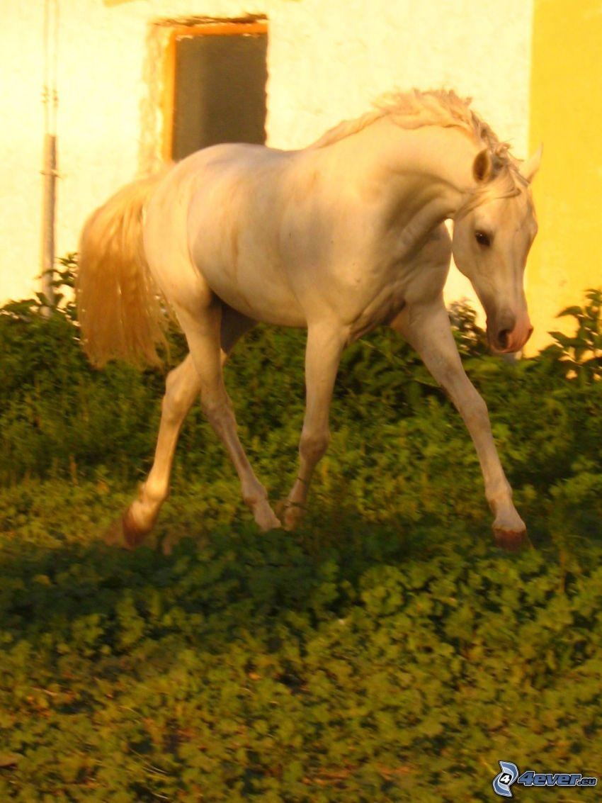 Árabe, animal, caballo
