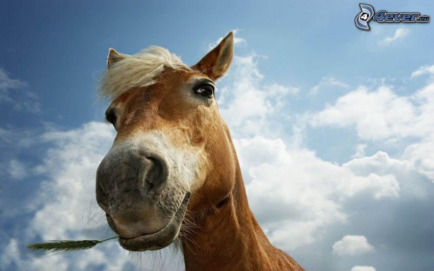 caballo marrón, cielo, grano