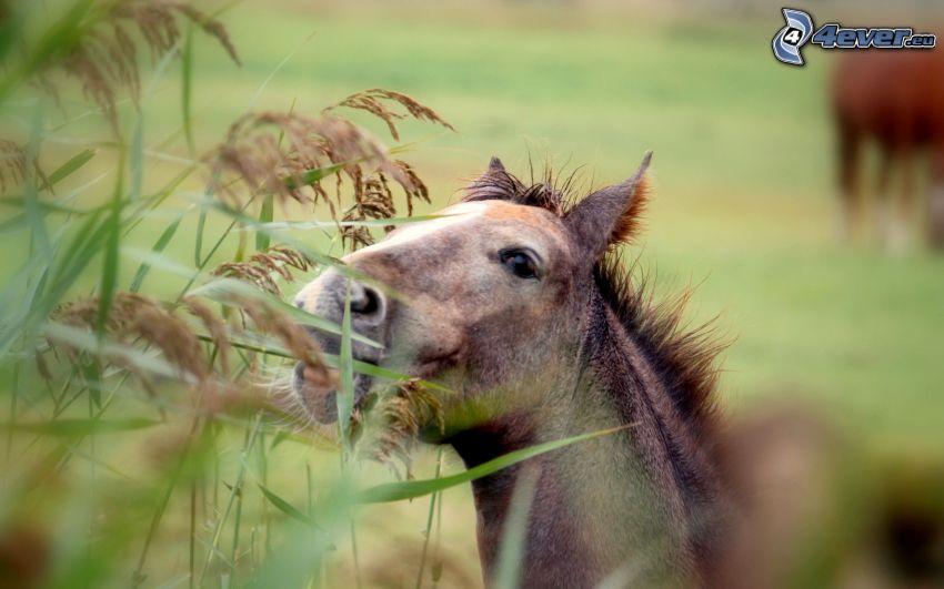 caballo marrón, paja de hierba