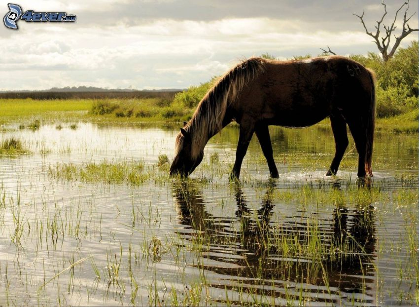 caballo marrón, pantano