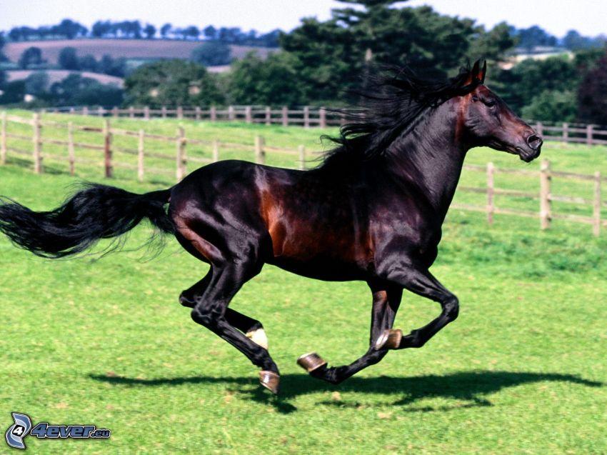 caballo negro, carrera, césped, valla