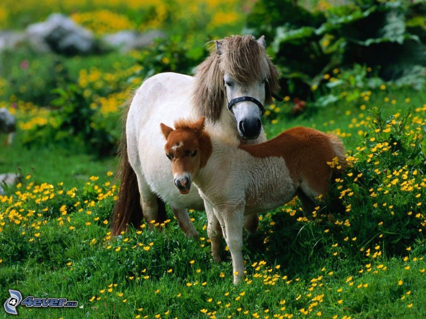 caballos, poni, prado