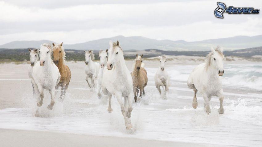 caballos blancos, manada de caballos
