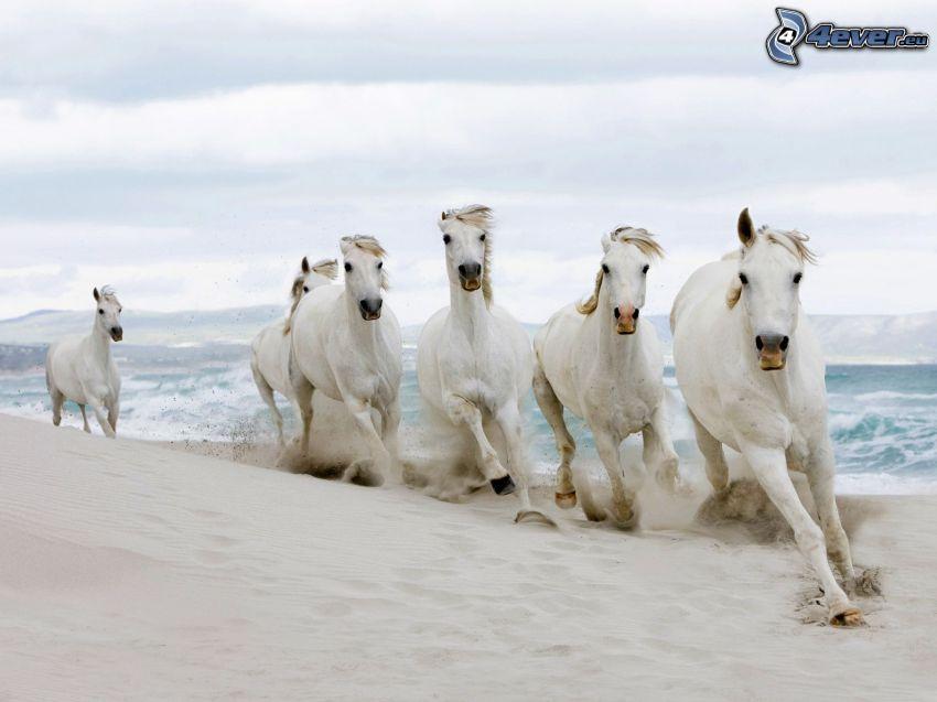 caballos en la playa, caballos blancos, mar