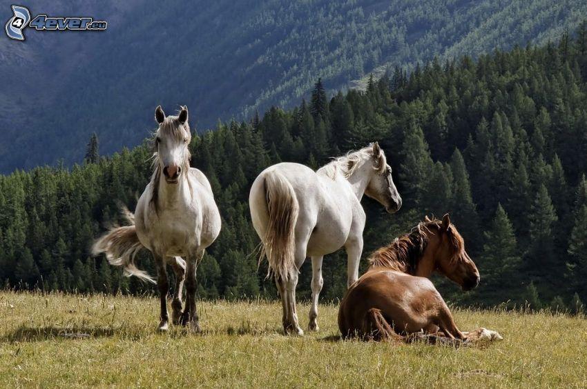manada de caballos, caballos blancos, caballo marrón, prado, árboles coníferos, colina