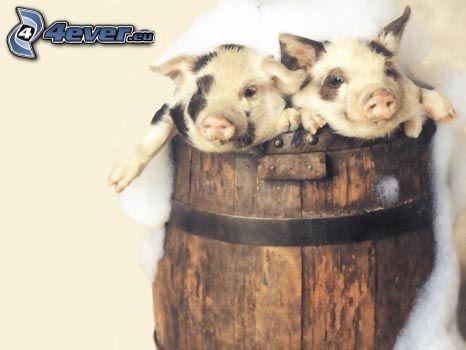 cochinos, barril