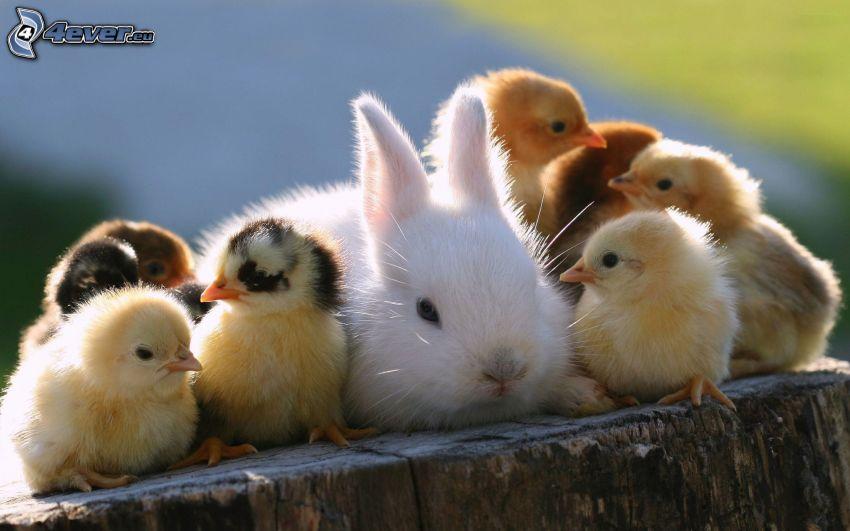 conejito, pollitos