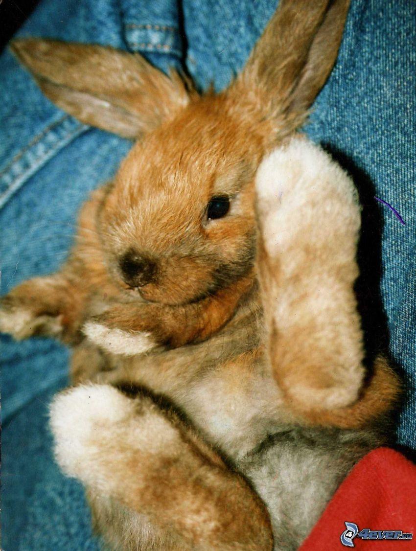 conejo, animal
