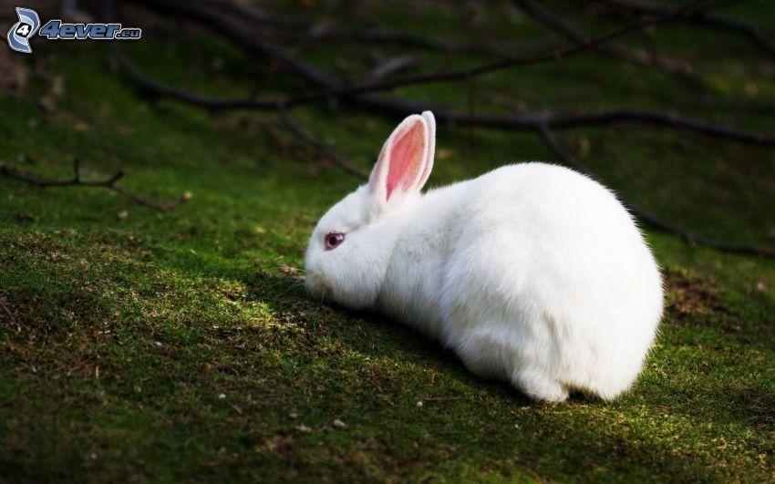 conejo, hierba, musgo