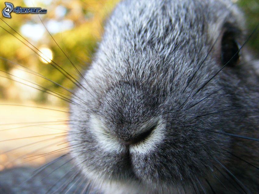 conejo, hocico