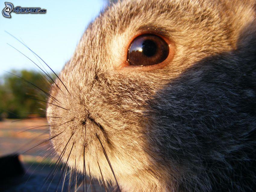 conejo, ojo