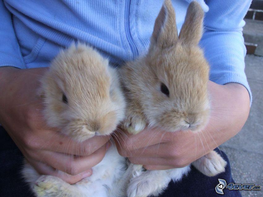 conejo, orejas, hombre