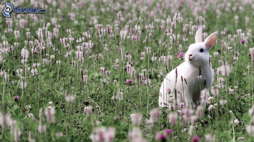 conejo, trébol, flores de campo
