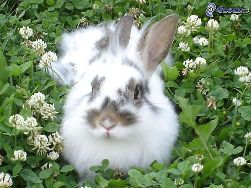 conejo en la hierba, trébol