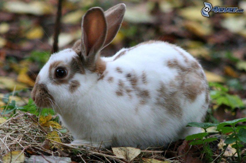 conejo manchado