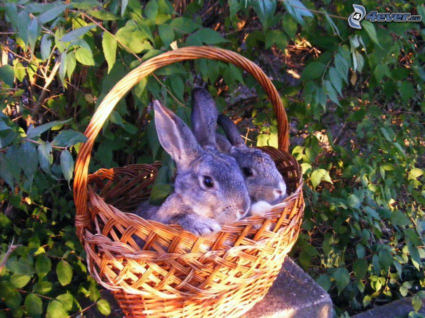conejos, cesta