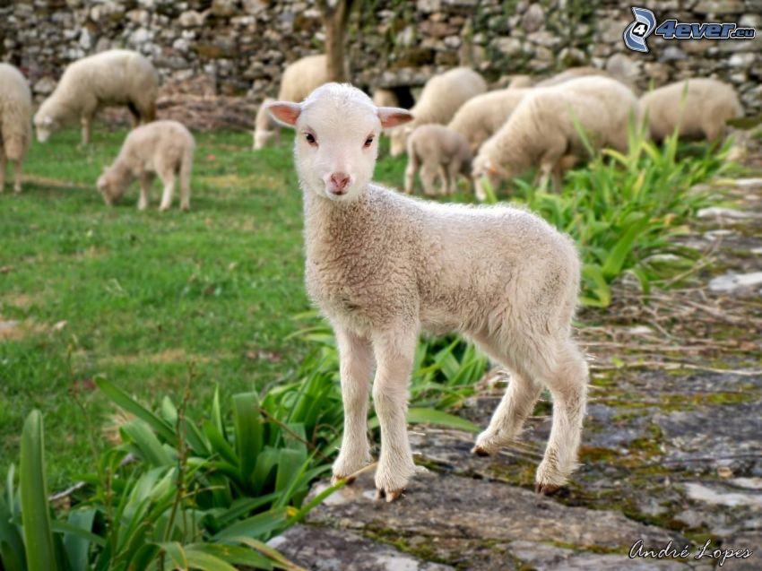 cordero, ovejas, jardín