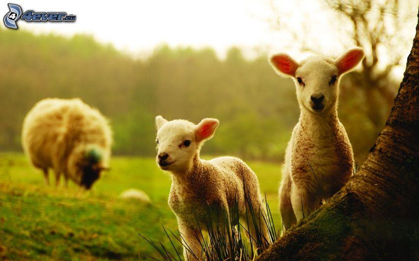 corderos, ovejas